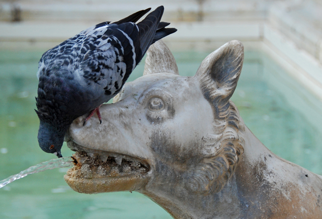 Hard to tell if the pigeon is drinking the water or cleaning the statue's teeth!