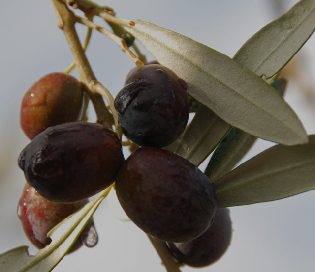 I do not enjoy eating olives.  Olive OIL is another story!